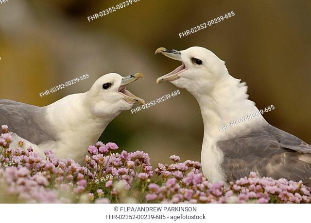 Northern Fulmar Fulmaris glacialis adult pair, calling, displaying amongst flowering thrift, Great Saltee, Saltee Islands, Ireland, may