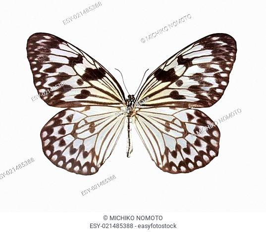 The Paper Kite butterfly