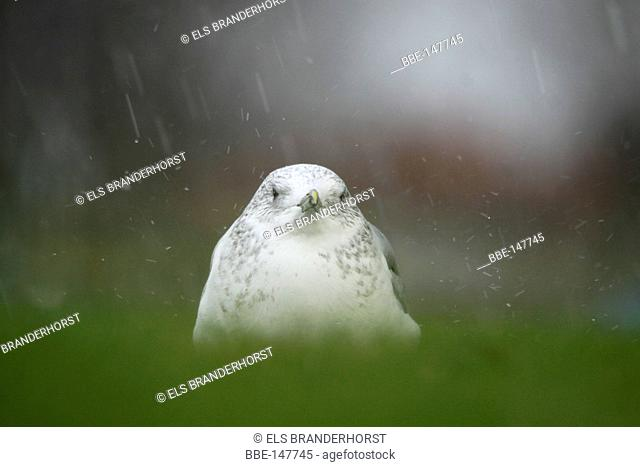 Common Gull at a lawn during heavy rainfall