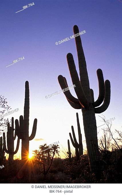 Silhouettes of saguaro cacti at sunset Saguaro National Park Arizona USA