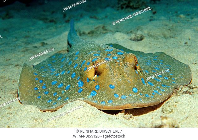 Bluespotted ribbontail ray, Taeniura lymma, Africa, Red Sea, Sudan