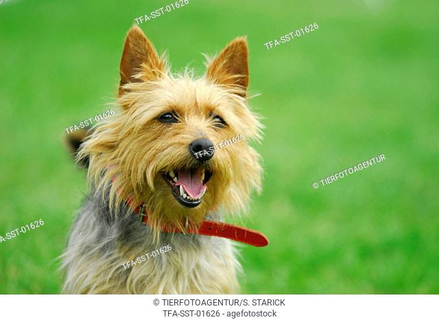 Australian Terrier Portrait