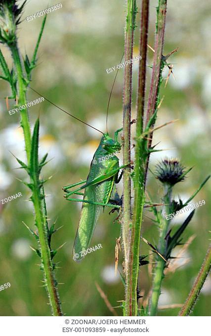 Green grasshopper, Tettigonia viridissima