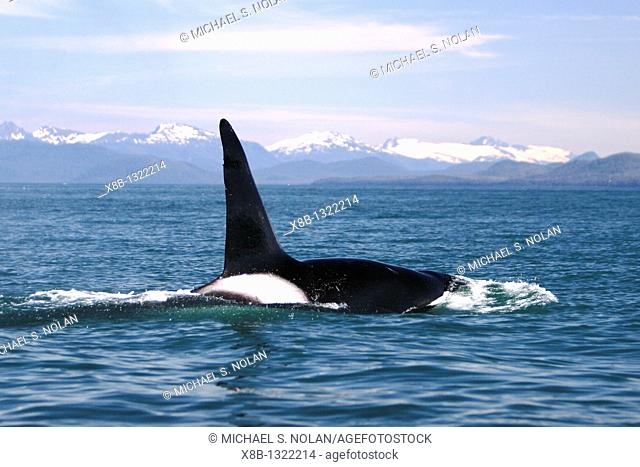 Transient Bull Orca Orcinus orca - also called Killer Whale - travelling in Stephen's passage, Southeast Alaska, USA  Pacific Ocean