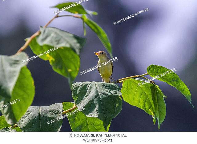 Germany, Saarland, Bexbach, A melodious warbler is singing on a branch