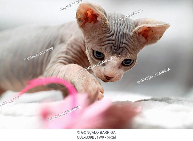 Sphynx cat playing with cat toy