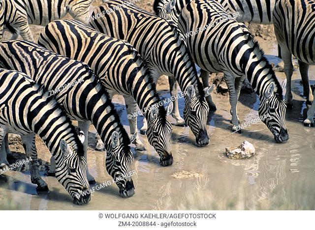NAMIBIA, ETOSHA NATIONAL PARK, BURCHELL'S ZEBRAS DRINKING AT WATERHOLE