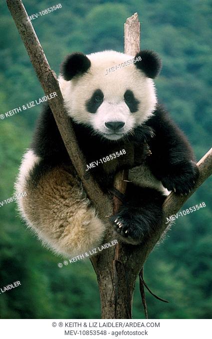 Giant Panda - juvenile sitting in tree fork (Ailuropoda melanoleuca). China