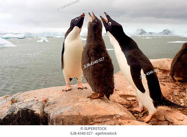 Adelie Penguin Parents with Chick
