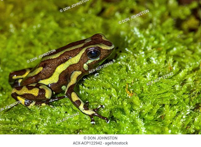 Dendrobates auratus 'tobago', , , Native to: Tobago Island Panama