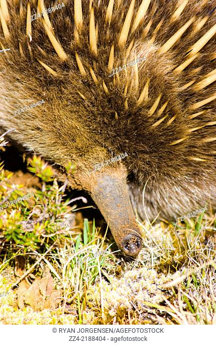 Close-up wildlife photo on the snout of an Echidna covered in dirt while digging for food. Tasmania Echidnas