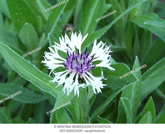 A white and purple Centurea flower