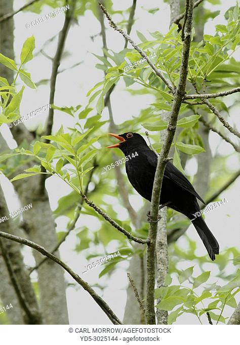 Male Blackbird in full song, Ireland