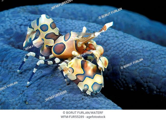 Harlekin Shrimp on Starfish, Hymenocera elegans, Bali, Tulamben, Indonesia