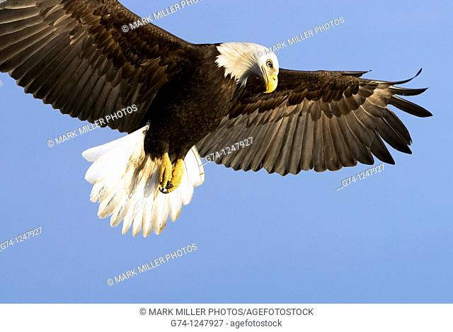 Bald Eagle (Haliaeetus leucocephalus) in flight looking down in beautiful light