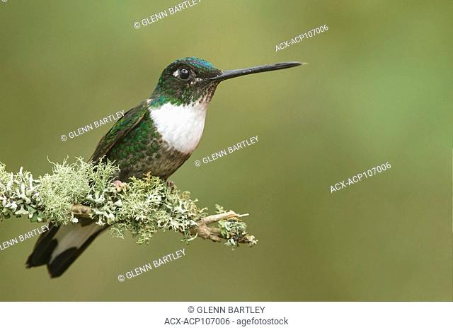 Collared Inca Hummingbird (Coeligena torquata) perched on a branch in the mountains of Colombia, South America