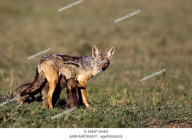 Black-backed jackal female with one week old suckling pups (Canis mesomelas). Maasai Mara National Reserve, Kenya. Aug 2011