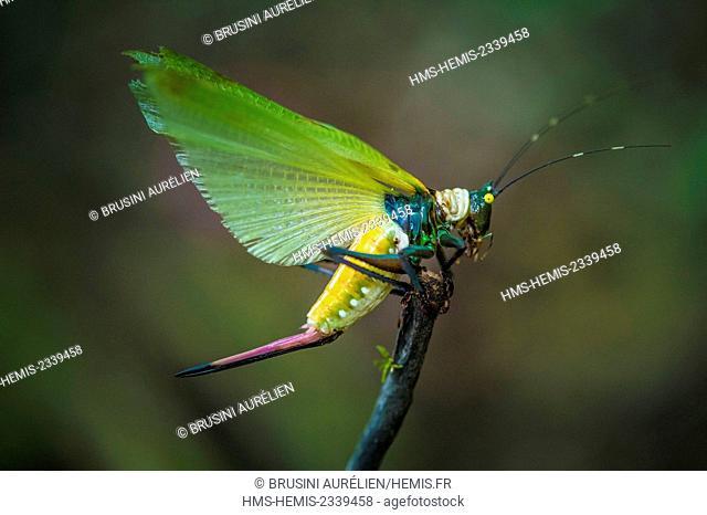 France, Guyana, French Guyana Amazonian Park, heart area, Camopi, grasshopper (Orthoptera Ensifera, Tettigoniidae family) on Mount Itoupé (830 m)