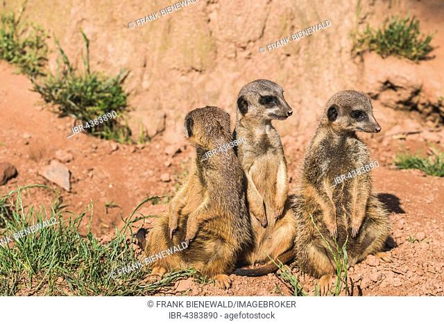 Three Meerkats (Suricata suricatta) are sitting on the ground, watching out, captive, Leipzig, Saxony, Germany