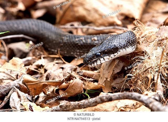 Black rat snake on dry leaves