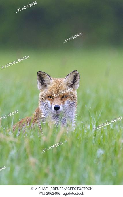 Red Fox (Vulpes vulpes) on meadow, Springtime, Hesse, Germany, Europe