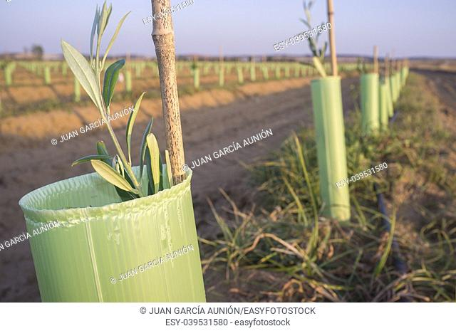 Olive young new trees plantation protected by tree shelter tubes. Closeup