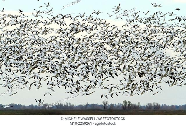 A swarm of snow geese in flight during sunset
