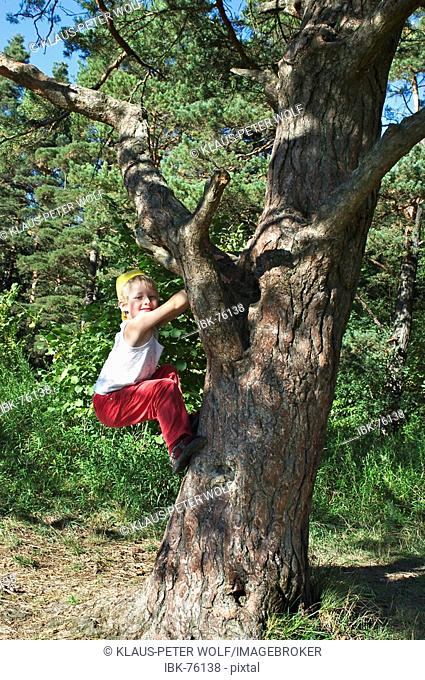 Six year old boy trying to climb up a tree Perlacher Forest Munich Germany