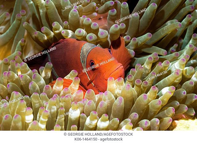 Spinecheek anemonefish Premnas biaculeatus nestling in anemone  Indonesia