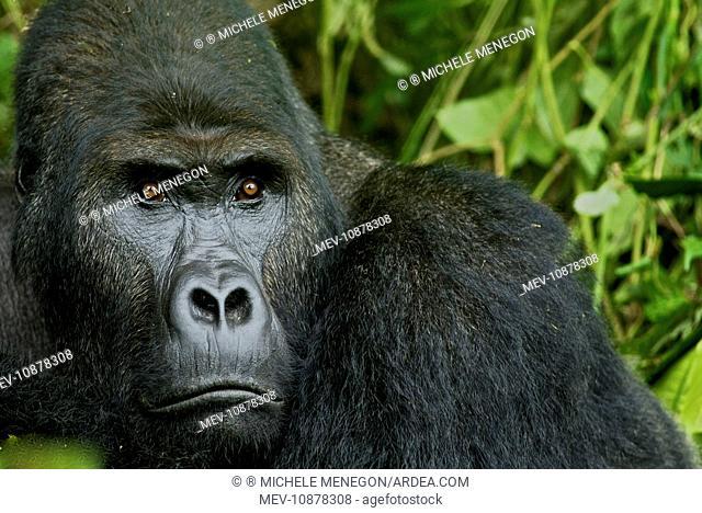 Eastern Lowland Gorilla - silverback portait (Gorilla beringei graueri). Kahuzi Biega NP - DRC - Africa