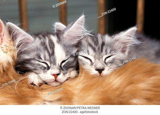 Maine-Coon-Katzen, Jungtiere, schlafend / Maine Coon Cats, kitten, sleeping