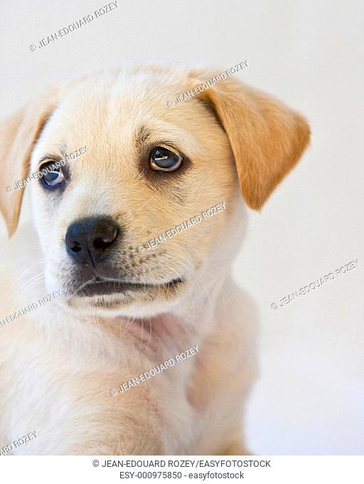 Close up of a yellow labrador puppy