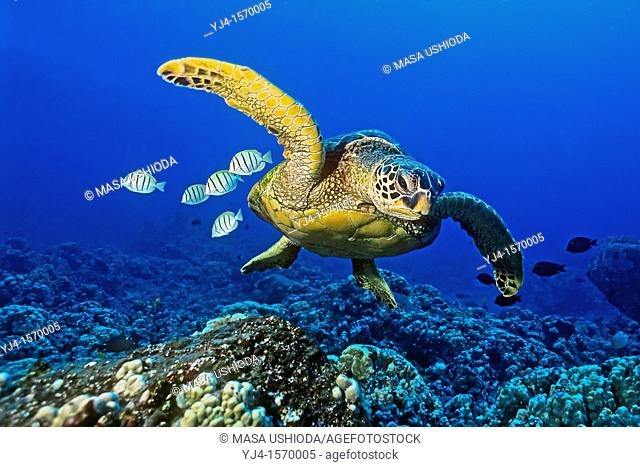 green sea turtle, Chelonia mydas, endangered species, with cleaning reef fish - convict tang, Acanthurus triostegus, and gold-ring surgeonfish