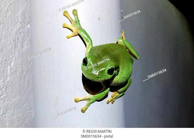 Green tree frog on a grey wall