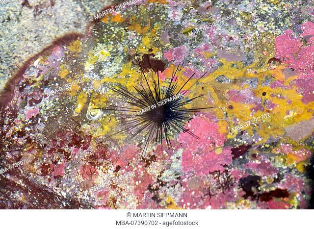 Tiara Sea Urchin (Diadematidae) and sponges on rock at coast, Valle Gran Rey, La Gomera, Canary Islands, Canaries, Spain