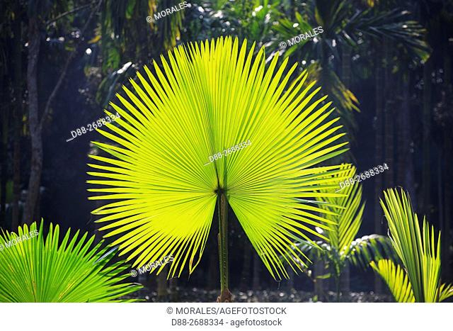 South east Asia, India,Tripura state,palm leaf in backlight