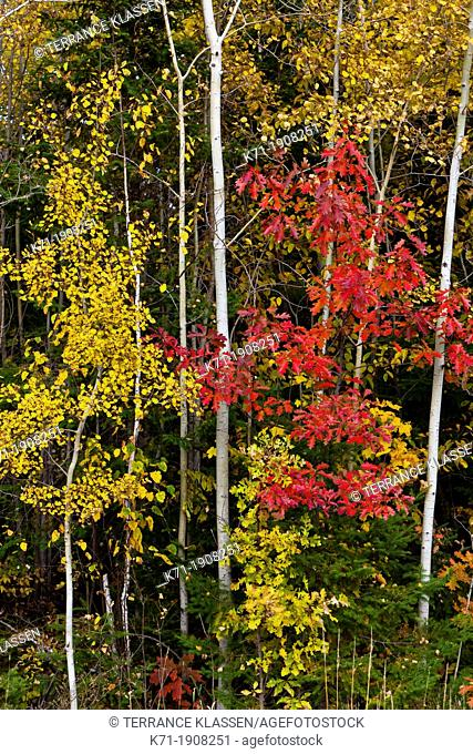 Fall foliage color in the forests near Grand Rapids, Minnesota, USA