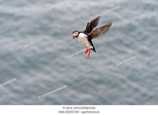 Puffin(Fratercula arctica) flying to the Latrabjarg rock cliffs, Iceland, Western fjords, Latrabjarg