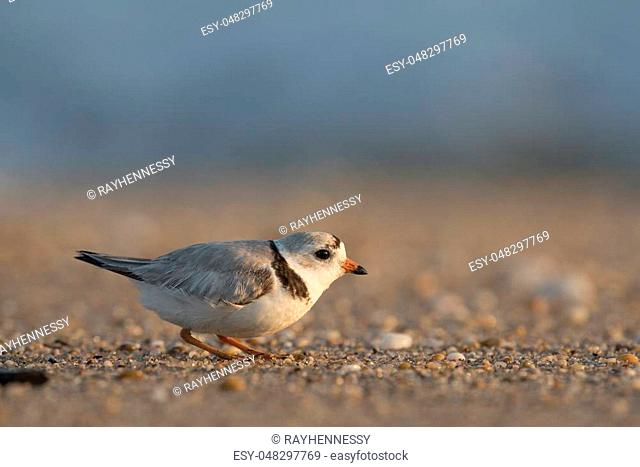 An endangered adult Piping Plover crouches on a sandy and pebbly beach on a bright sunny morning