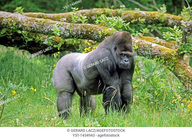EASTERN LOWLAND GORILLA gorilla gorilla graueri, MALE