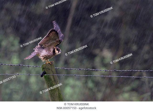 Eurasian Hobby (Falco subbuteo) standing in the rain, the Netherlands, Overijssel, Vriezenveen, Veenschap