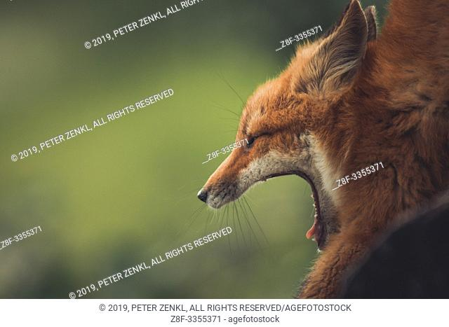 A young red fox (Vulpus vulpus) opens his mouth wide as he yawns. Yukon Territory, Canada