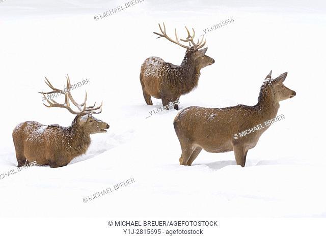 Red deers in Winter, Cervus elaphus, Male and Female, Bavaria, Germany, Europe