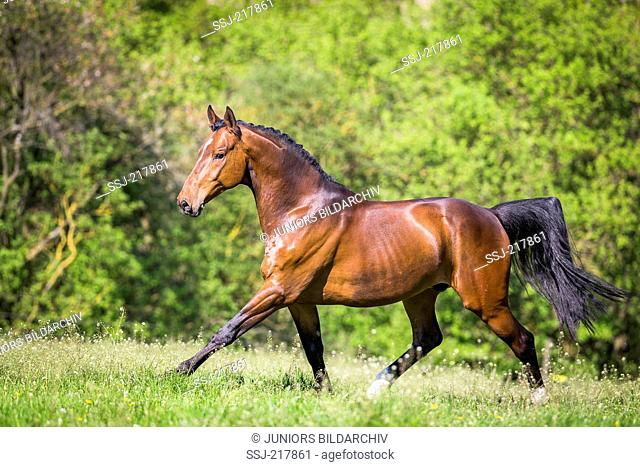 Bavarian Warmblood. Bay gelding galloping on a pasture. Germany