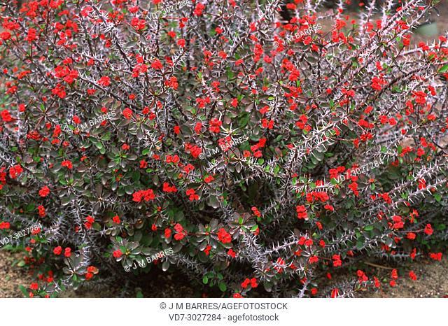 Crown of thorns (Euphorbia milii) is an ornamental climbing shrub native to Madagascar
