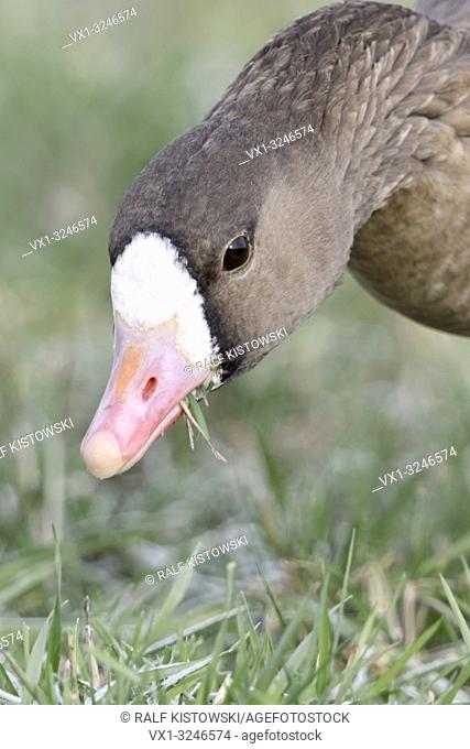 Greater White-fronted Goose / Blaessgans ( Anser albifrons ) in winter, feeding on frosty grass, detailed close-up, frontal view, wildlife, Europe