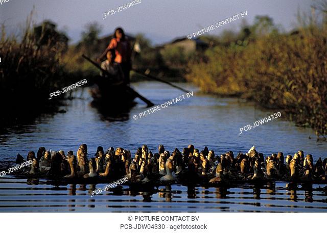 Inle Lake, ducks on the Inle lake