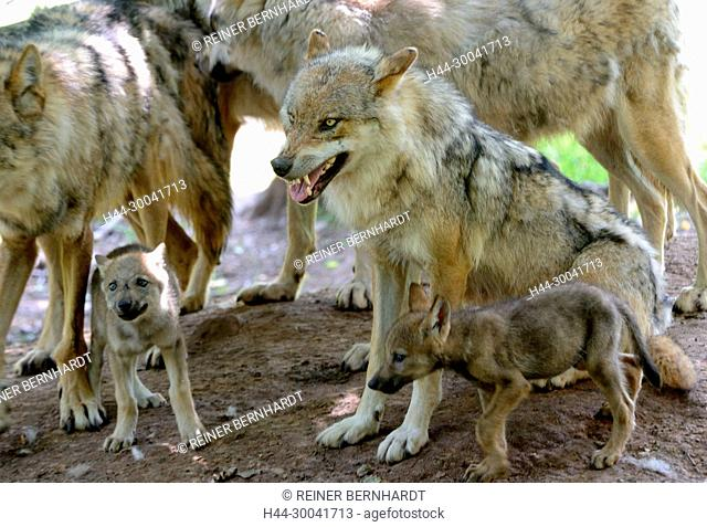 Canine, Canis lupus, endemic animal species, European wolf, protected animal species, grey wolf, grey wolf, doggy, Isegrimm, young wolves, Jung's wolves