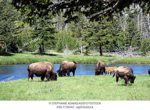 A bison heard grazing in Yellowstone