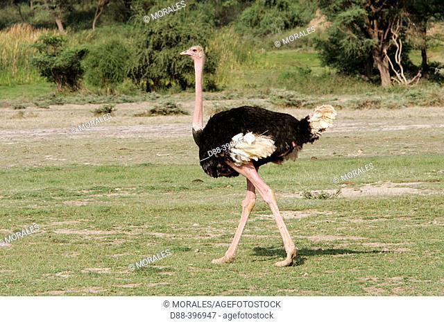 Ostrich (Struthio camelus). Lake Nakuru National Park, Kenya